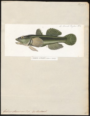 Gobius stamineus - 1700-1880 - Print - Iconographia Zoologica - Special Collections University of Amsterdam - UBA01 IZ13600039.tif