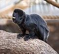 Goeldis Monkey (5512055873).jpg