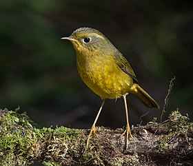 Golden Bush Robin by Jason Thompson (Cropped).jpg