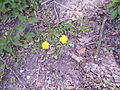 Golden dandelions like once Pygmalion sought to sermon with.JPG