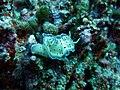 Goniobranchus tritos.JPG