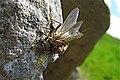 Gordale Beck, mating stoneflies - geograph.org.uk - 1364184.jpg