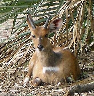 Gorongosa National Park - young male bushbuck
