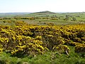 Gorse Bushes and Myot Hill - geograph.org.uk - 418850.jpg