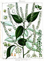 Gouania leptostachya Rungiah.jpg
