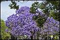 Grafton Street Jacaranda-05 (22480920940).jpg