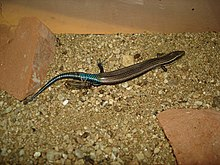 Gran Canaria Skink, Chalcides sexlineatus.jpg