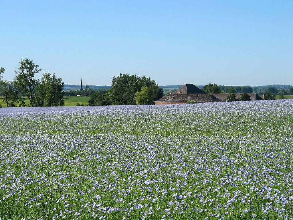 Champ de lin au printemps à Grand-Reng (commune belge d'Erquelinnes, province de Hainaut).  (définition réelle 2272×1704)