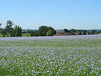 Tohumlar Keten (Linum usitatissimum)