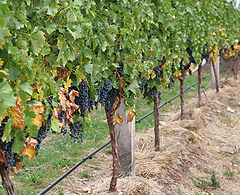 Grape vines.jpg