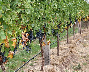 Canopy (grape) - Grape vines and their canopies