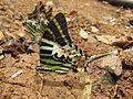 Graphium antiphates - Five-bar Swordtail 28.jpg