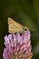 Grass Skipper (Hesperiinae) - Guelph, Ontario 01.jpg