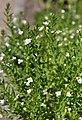 Gratiola officinalis Konitrut błotny 2014-06-19 01.jpg