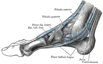 Los partes musculos pie de del