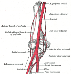 Diagram of the anastomosis around the elbow-joint. (A. profunda brachii labeled at upper right.)