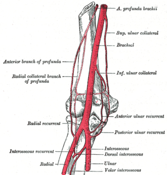 Radial recurrent artery - Diagram of the anastomosis around the elbow-joint. (Radial recurrent labeled at center left.)