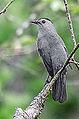 Gray Catbird (8747097026).jpg