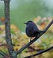 Gray catbird (6225868991).jpg