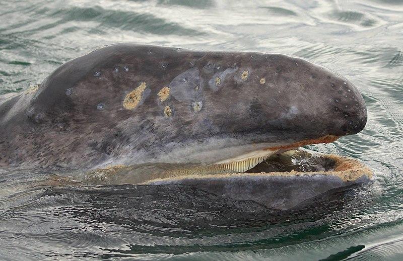 Grey whale calf (Wikipedia; Marc Webber/USFWS)
