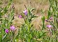 Great (Hairy) Willowherb - Epilobium hirsutum (29220352497).jpg