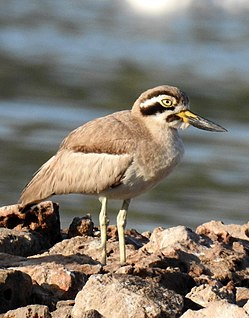 Great Stone-curlew or Great Thick-knee Esacus recurvirostris by Dr. Raju Kasambe DSCN6448 (8).jpg