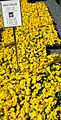 Great Swamp Greenhouse photos Pansy.JPG
