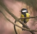 Great tit (24905782247).jpg