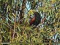 Greater Coucal (Centropus sinensis) (45664943725).jpg