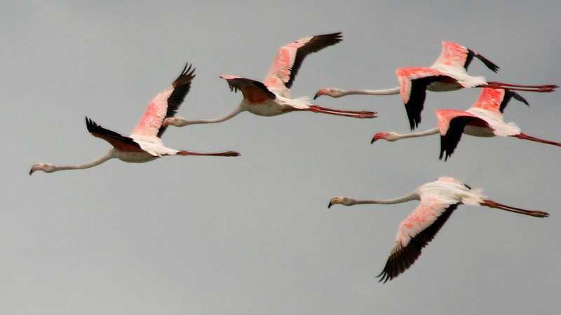 File:Greater Flamingoes (Phoenicopterus roseus) in flight W IMG  0081.jpg