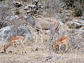 Greater Kudu with Impala (44032036304).jpg