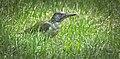 Green woodpecker (50326505347).jpg