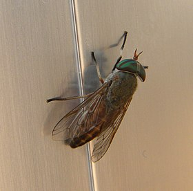 Greenhead Horse-Fly, cropped.jpg
