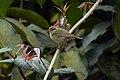 Greenish Warbler.jpg