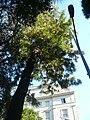 Grevillea de la Via Augusta P1510503.jpg