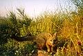 Grey Fox (9098601960).jpg