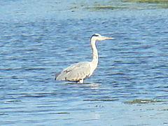 Grey Heron-Mindaugas Urbonas-2.jpg
