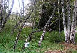 Grove of Karelian birch trees at Kivach.jpg