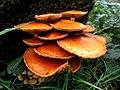 Gymnopilus junonius (Strophariaceae), Elst (Gld), the Netherlands.jpg