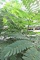 HK 上水 Sheung Shui 彩園路 Choi Yuen Road 鳳凰木 Delonix regia green pinnate compound leaves Sept 2017 IX1 02.jpg