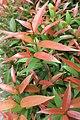 HK 西營盤 Sai Ying Pun 香港 中山紀念公園 Dr Sun Yat Sen Memorial Park plants red leaves Sept 2017 IX1 03.jpg