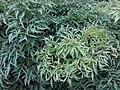HK Central 愛丁堡廣場 Edinburgh Place 香港大會堂紀念花園 City Hall Memorial Garden green leaves July 2019 SSG 06.jpg