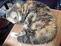 HK HH 紅磡 Hung Hom 異國長短毛貓 Exotic Shorthair bleed cat November 2020 SS2 13.jpg