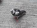 HK SYP 西環 Sai Ying Pun Market 正街 Centre Street 鴿子 pigeons near Third Street April 2020 SS2 18.jpg