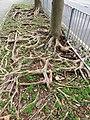 HK TKL 調景嶺 Tiu Keng Leng 彩明街 Choi Ming Street March 2019 SSG tree root.jpg