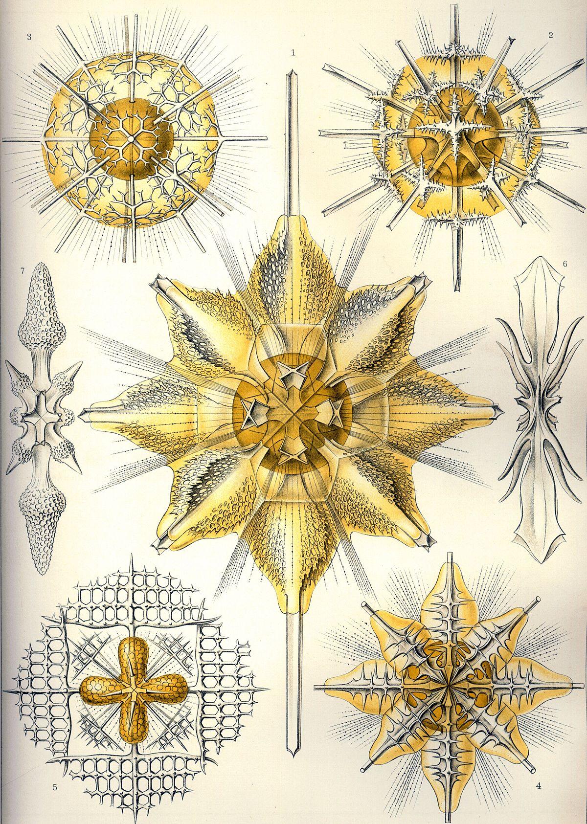 Acantharea - Wikipedia