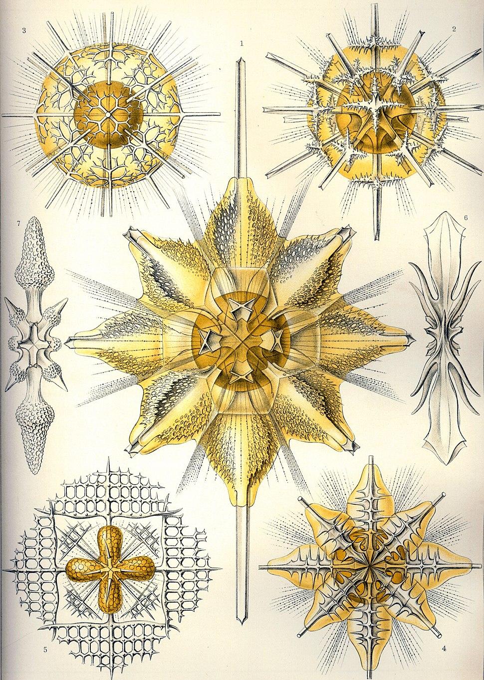 Haeckel Acanthometra