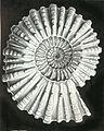 Haeckel Douvilleiceras mammillatum.jpg