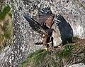 Haliaeetus albicilla -Littleisland, Norway -juvenile-8a (2).jpg