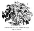 Haricot sabre nain très hâtif de Hollande Vilmorin-Andrieux 1904.png
